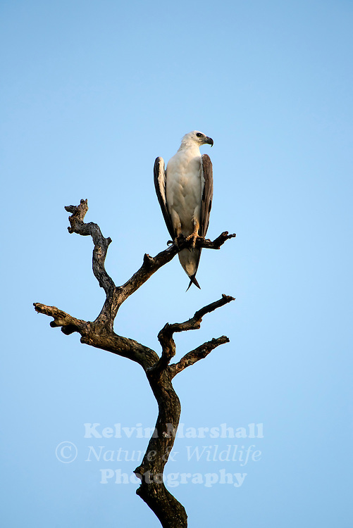 White-bellied sea eagle (Haliaeetus leucogaster), also known as the white-breasted sea eagle, is a large diurnal bird of prey in the family Accipitridae. Habarana - Sri Lanka.