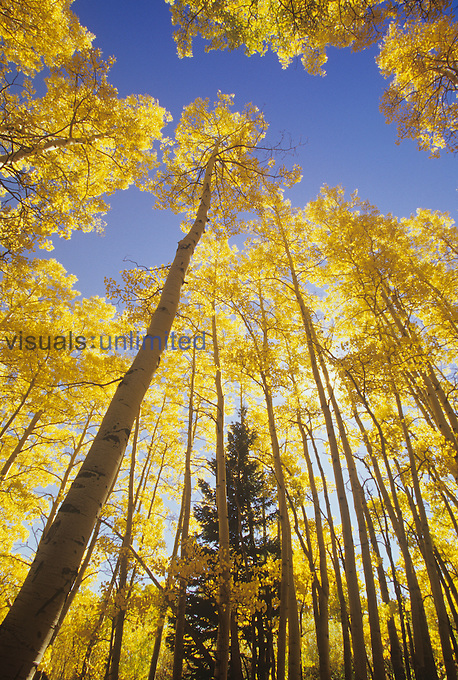 Skyward view of Quaking Aspens in autumn colors ,Populus tremuloides, Western USA. Note the single conifer as a comparison between deciduous and evergreen trees.