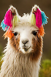 Llama (Lama glama) with colored string indicating ownership, Abra Granada, Andes, northwestern Argentina