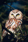 Northern saw-whet owl on douglas fir, Washington
