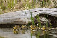 Mallard ducklings (Anas platyrhynchos)