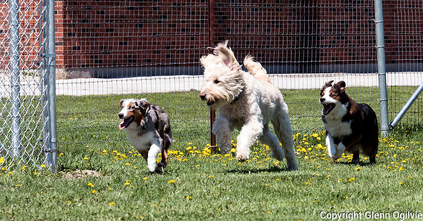 Daisy, a golden doodle, owned by Candace Fach and Australian shepherds Lucy, 6 months and Molly, 3-year-old mother of Lucy, right, owned by Bill and Val Stephenson  have a run at the new off leash dog park located in Germain Park.