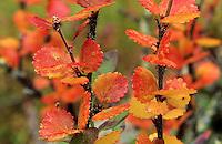 Zwerg-Birke, Zwergbirke, Polar-Birke, Polarbirke, Herbstverfärbung, Herbstlaub, Birke, Betula nana, dwarf birch, dwarf-birch