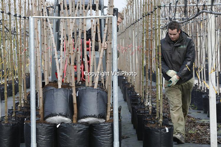 Foto: VidiPhoto<br /> <br /> OPHEUSDEN – Bij boomkwekers Gebr. Van Eldik in Opheusden worden dinsdag jonge laanbomen opgepot en buiten geplaatst. Voordeel van deze zogenaamde containerteelt is dat er minder ruimte nodig is, bomen lichter zijn en dat ze jaarrond kunnen worden geleverd. En dat is nodig, want er is weer flink vraag naar laanbomen van Nederlandse bodem. Door enorme orders vanuit China vorig jaar, is er een flink gat geslagen in de bomenvoorraad, waardoor er dit jaar ruimte is voor nieuwe opkweek. De prijzen in de sector zijn zo'n 10 procent gestegen. Verder neemt de vraag toe doordat er veel nieuwe woonwijken worden aangelegd. Gebr. Van Eldik verwerken jaarlijks zo'n 35.000 bomen op 7 ha. grond.