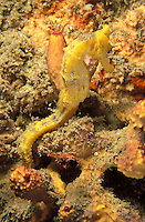 iy915. Pacific Seahorse (Hippocampus ingens) camouflaged next to sponge. Baja, Mexico, Pacific Ocean..Photo Copyright © Brandon Cole. All rights reserved worldwide.  www.brandoncole.com..This photo is NOT free. It is NOT in the public domain. This photo is a Copyrighted Work, registered with the US Copyright Office. .Rights to reproduction of photograph granted only upon payment in full of agreed upon licensing fee. Any use of this photo prior to such payment is an infringement of copyright and punishable by fines up to  $150,000 USD...Brandon Cole.MARINE PHOTOGRAPHY.http://www.brandoncole.com.email: brandoncole@msn.com.4917 N. Boeing Rd..Spokane Valley, WA  99206  USA.tel: 509-535-3489