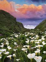 Calla lillies and sunrise clouds. Garrapata State Park, California