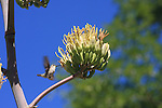 Costa's hummingbird and agave