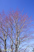 MP08-005a  Red Maple - spring buds - Acer rubrum