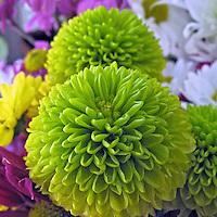Flores. Dália ( Dahlia pinnata). SP. Foto de Manuel Lourenço.