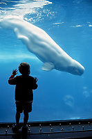 Child viewing Beluga whale, Delphinapterus leucas, USA, California, San Diego