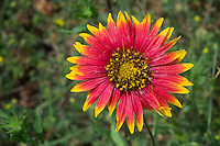Indian Blanket wildflower, Llano, Texas