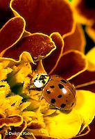 1C01-036b  Asian Ladybug on marigold, Harmonia axyridis