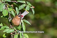 01415-03404 Cedar Waxwing (Bombycilla cedrorum) eating berry in Serviceberry (Amelanchier canadensis) bush, Marion Co. IL
