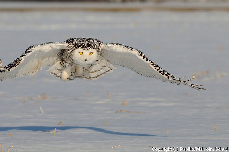 Snowy Owl (Nyctea scandiaca) flying over snow covered ground, Quebec, Canada