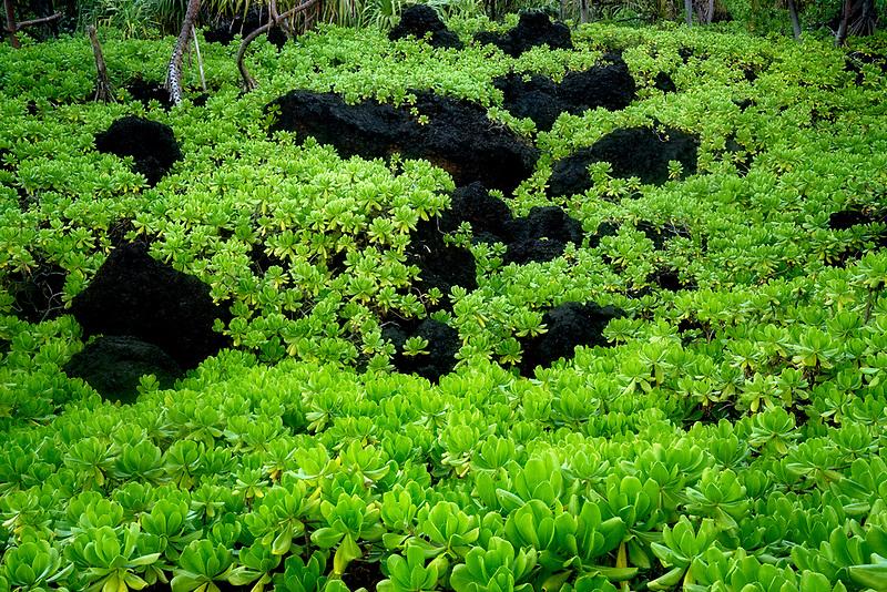 Naupaka plant, from Waiananappa Trail. Black sand beach. Maui, Hawaii