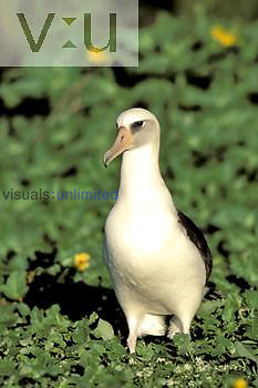 Laysan Albatross ,Diomedea immutabilis,, Midway Atoll National Wildlife Refuge, USA.