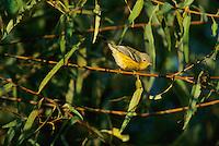 Pine Warbler, Palmyra Nature Cove, Palmyra, New Jersey