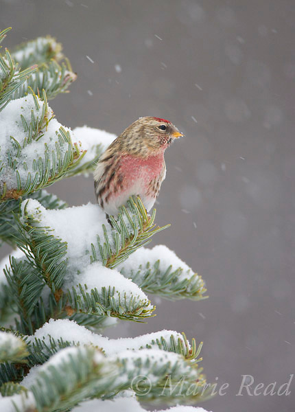 Common Redpoll (Carduelis flammea), perched in snow-covered conifer during snowstorm, New York, USA<br /> Cropped frm original capture