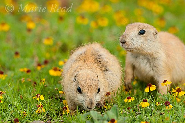 Black-tailed Prairie Dogs (Cynomys ludovicianus), two young animals, Wichita Mountains National Wildlife Refuge, Oklahoma, USA