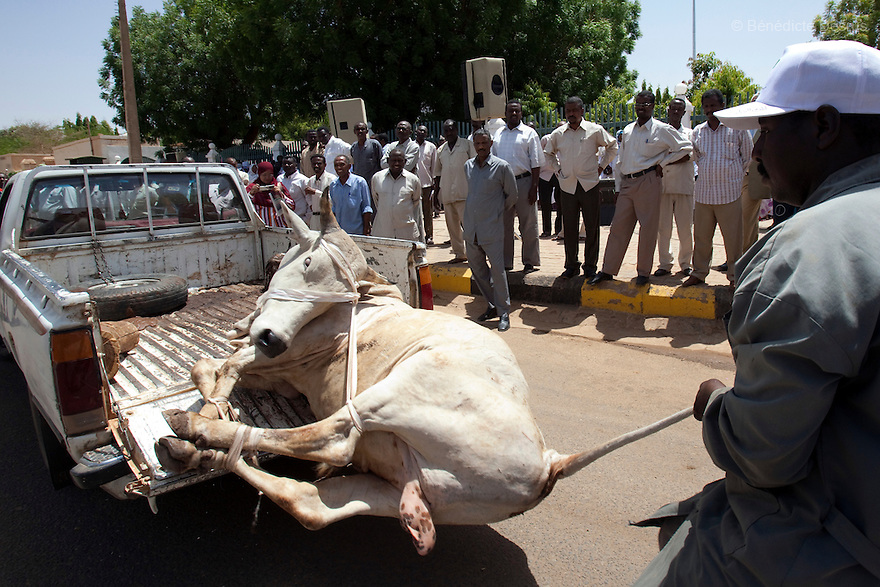28 april 2010 - Karthoum, Sudan - A man pulls a cow from the back of a pick-up truck before slaughtering it as a traditional ritual to honour and bless Sudan's President Omar Hassan al-Bashir at a rally at the Ministry of the Council of Ministers in Khartoum. Sudan's president Omar al-Bashir won another term in office on Monday, according to election officials, with a comfortable majority (68 percent of the vote ) in elections marred by boycotts and fraud allegations, becoming the first leader to be elected while facing an international arrest warrant for alleged crimes he orchestrated in the western region of Darfur. The elections take place as Sudan heads toward a referendum in eight months that could lead South Sudan to split off and become Africa's newest nation. Photo credit: Benedicte Desrus