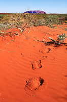 Footprints lead to Ayers Rock, or Uluru, Northern Territory, Australia, on December 29, 2008. Photo by Lucas Schifres/Pictobank