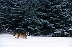 Timber or Grey Wolf ( Canis Lupus ) - Minnesota  USA  .wolf on snow landscape , from a distance.USA....
