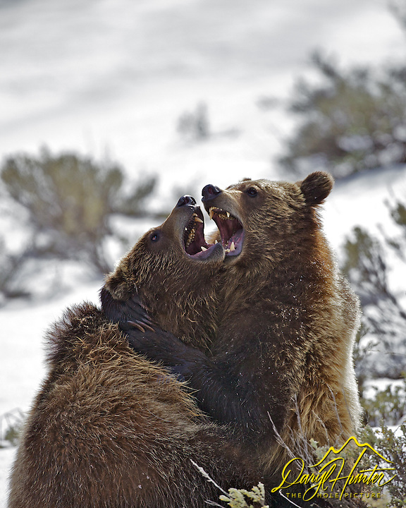Grizzly cubs wrestling and playing in Grand Teton National Park.  Sibling rivalry and bear hugs all around.