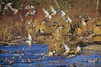 Ducks--mostly mallards & green-winged teal--jumping off pond.  Pacific Northwest.  Winter.