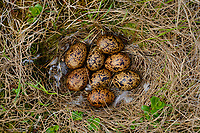 Willow Ptarmigan (Lagopus lagopus) nest and eggs. Yukon Delta National Wildlife Refuge, Alaska. June.