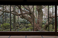 A view of the sprawling trunk of a Japanese white pine (Pinus parviflora), and trees beyond, from a gallery at the Hosen-in Temple, near Kyoto