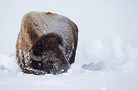 A bison uses its massive head and shoulder muscles to plow aside snow in an attempt to find food.