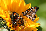Monarch butterflies, CA