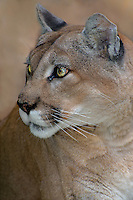 656320014 portrait of a mountain lion felis concolor a wildlife rescue animal
