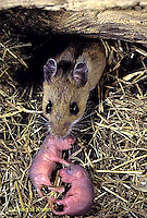 MU27-201z  White-Footed Mouse - with 3 day old young, moving to safer location -  Peromyscus leucopus