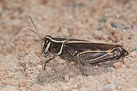 Schönschrecke, Costas Schönschrecke, Südliche Schönschrecke, Calliptamus barbarus, Locust, Pink Winged Grasshopper, Korsika