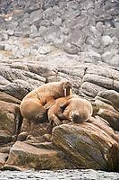 walrus, Odobenus rosmarus, hauled out on rocks, Baffin Island, Nunavut, Canada, Arctic Ocean