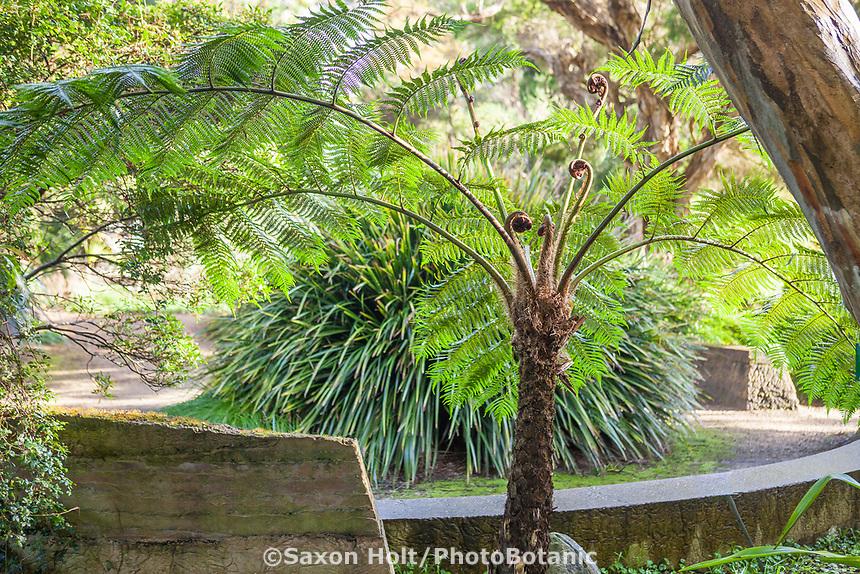 Tree fern in New Zealand section of San Francisco Botanical Garden