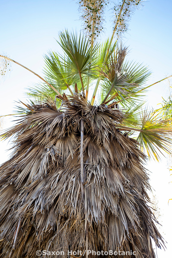 Brahea armata, Mexican Blue Palm tree in California garden with skirt of old fronds