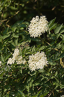 Schwarzer Holunder, Fliederbeere, Sambucus nigra, Common Elder, Elderberry, Sureau commun, Sureau noir, Blüten