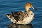 Northern Pintail, Anas acuta, standing in water , Odaito, Hokkaido Island, Japan, japanese, Asian, wilderness, wild, untamed, ornithology.Japan....