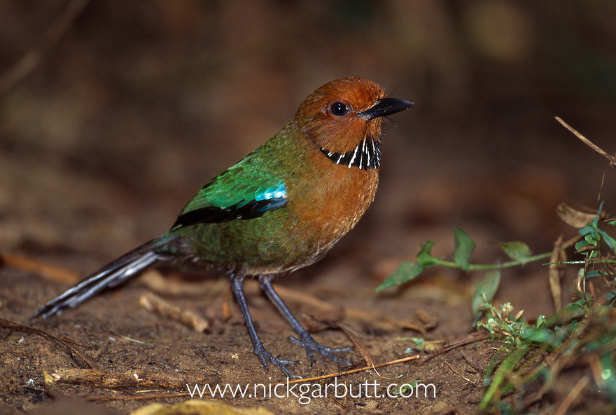 Rufous-headed or Crossley's Ground Roller (Atelornis crossleyi) on forest floor. High altitude forests near Camp Simpona, Marojejy National Park, Madagascar.