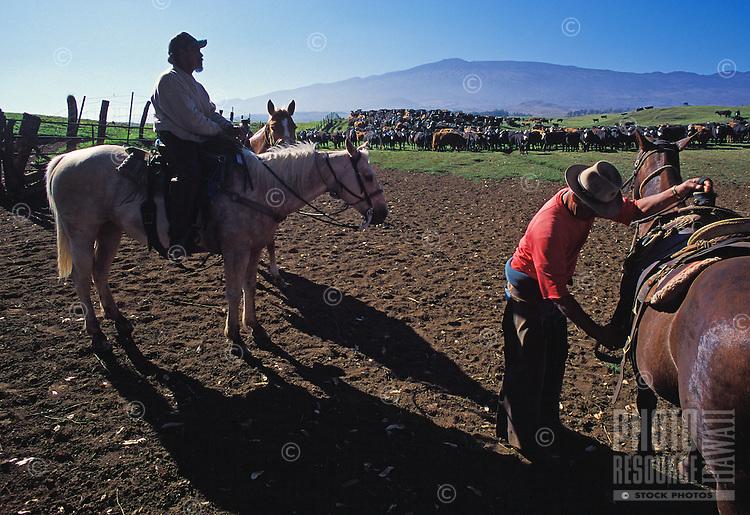 Cowboys working on Parker Ranch, Waimea (Kamuela)