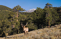 Elk, Wapiti, Cervus elaphus, bull with forest and rocky mountains, Rocky Mountain National Park, Colorado, USA, September 2006