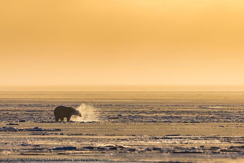 Polar bear on the newly formed sea ice on the Beaufort Sea along Alaska's Arctic Coast.