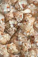 Murex Shells, Sanibel Island, Florida