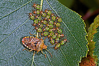 Fleckige Brutwanze, Große Birkenwanze, bewacht ihre Larve, Larven, Nymphe, Nymphen, Elasmucha grisea, parent bug, with nymph, nymphs, larva, larvae, Stachelwanzen, Acanthosomatidae, shield bugs