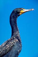 Double-crested cormorant, Florida Keys