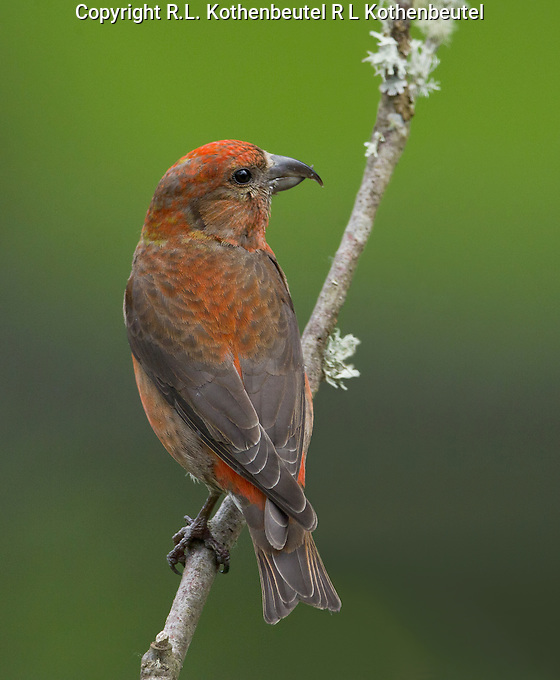 Red crossbill (Loxia curvirostra) adult male perched on a lichen covered branch displaying his dorsal plumage as he looks back over his shoulder.<br />