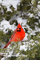 01530-21517 Northern Cardinal (Cardinalis cardinalis) male in Juniper tree (Juniperus keteleeri) in winter Marion Co. IL
