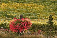 Gewürztraminer vines are grown at Karma Vineyards on the south shore of Lake Chelan...